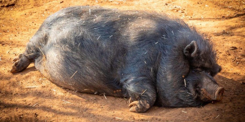 When wild boars attack_Trekkerr